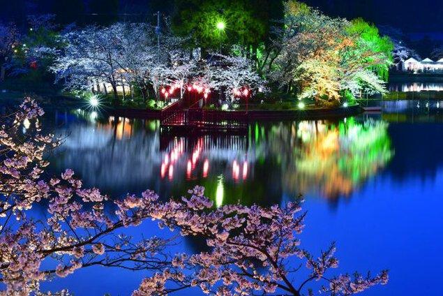 八鶴湖畔の桜