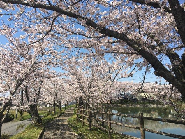 北条大池周辺の桜