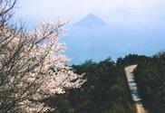 【桜・見ごろ】王子が岳の桜園地