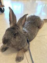 リトルワールド「世界一大きいウサギがやってくる」