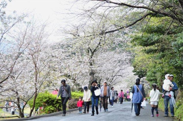 黄金崎公園の桜