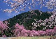 竹田の里 しだれ桜