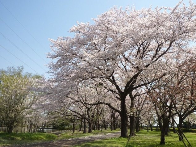 智光山公園「桜の園」の桜