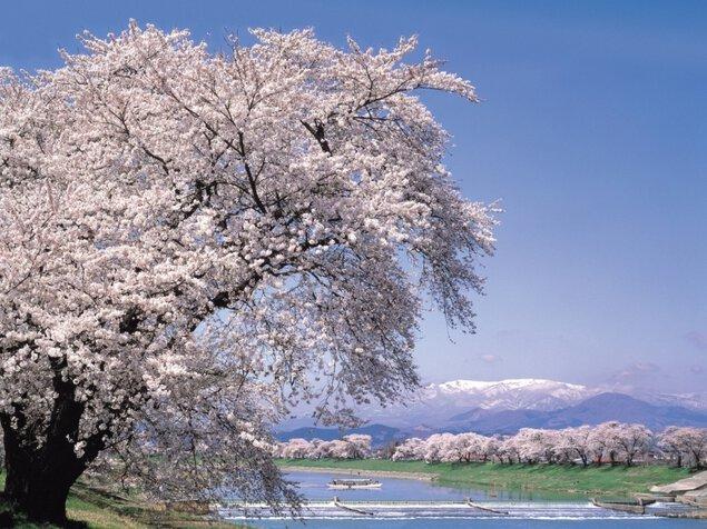 白石川堤一目千本桜の桜