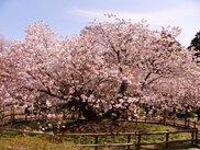 光善寺(血脈桜)