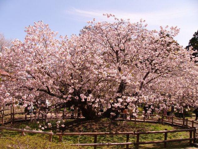 光善寺(血脈桜)の桜