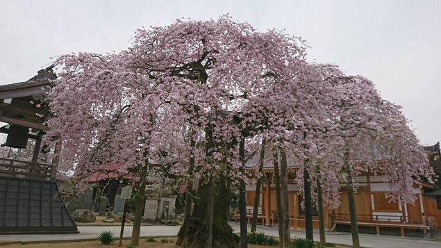 円東寺の桜