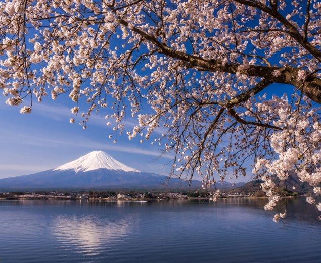河口湖畔(北岸)の桜