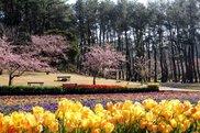 【桜・見ごろ】フラワーパークかごしま 早咲き桜 イズノオドリコ