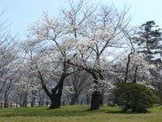 【桜・見ごろ】鳳来山公園