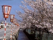【桜・見ごろ】西川通り