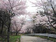 【桜・見ごろ】大谷峠