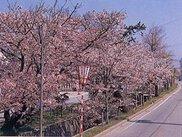 【桜・見ごろ】中町通りの桜並木