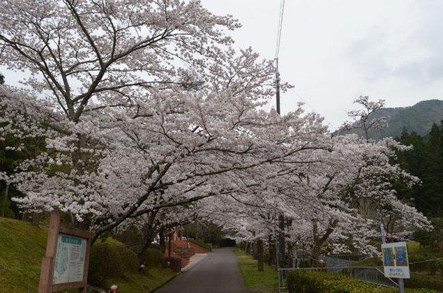 水分れ公園の桜