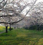 【桜・見ごろ】におどり公園