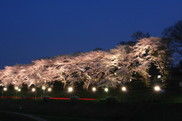 利根運河水辺公園内の桜ライトアップ