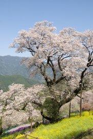 【桜・見ごろ】ひょうたん桜