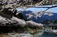 【桜・見ごろ】池川ふれあい公園
