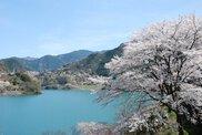 【桜・見ごろ】大渡ダム湖畔
