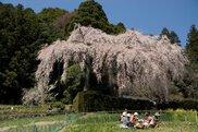 【桜・見ごろ】中越家のしだれ桜