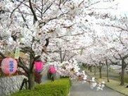 【桜・見ごろ】雪野山史跡広場「妹背の里」