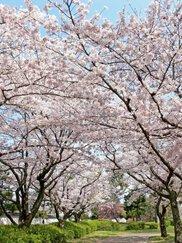 【桜・見ごろ】膳所城跡公園