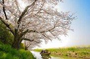 【桜・見ごろ】八幡堀