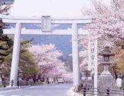 【桜・見ごろ】日吉大社(日吉馬場)