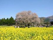 【桜・見ごろ】一心行の大桜