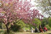 【桜・見ごろ】ありえ俵石自然運動公園