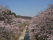 【桜・見ごろ】妙法寺川公園