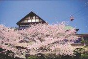 【桜・見ごろ】須磨浦公園