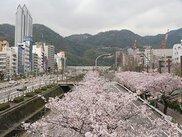 【桜・見ごろ】生田川沿い