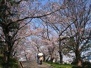 【桜・見ごろ】会下山公園