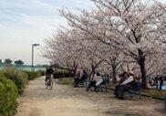 【桜・見ごろ】瑞ケ池公園
