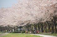 【桜・見ごろ】川越公園