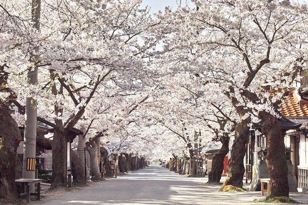 がいせん桜の桜