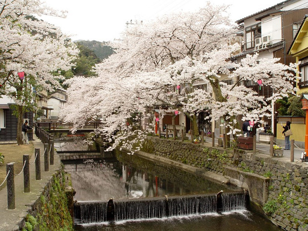 【桜・見頃】城崎温泉