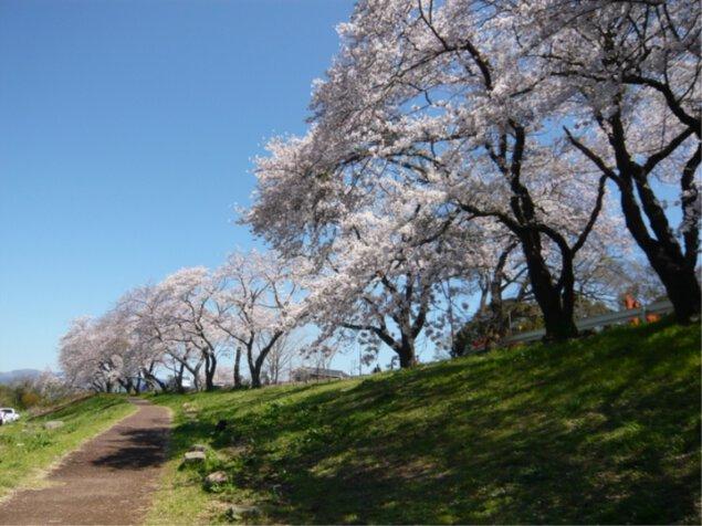 狩野川さくら公園の桜