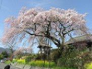 【桜・見ごろ】安楽寺