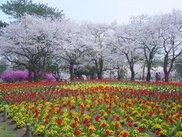 【桜・見ごろ】別府公園