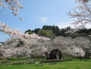 【桜・見ごろ】並石ダム