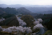 【桜・見ごろ】御嶽山の桜並木