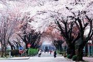 跡見学園女子大学 桜まつり2018