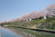 【桜・見ごろ】住吉堤防敷