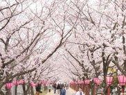 はつかいち桜まつり