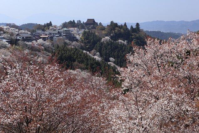 【桜・見頃】吉野山(中千本)
