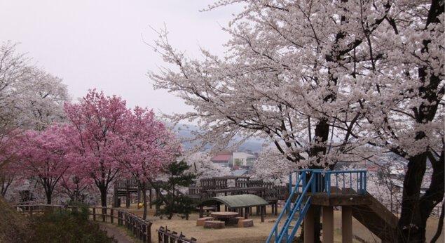 経塚山公園の桜