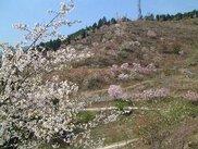 かんざき桜の山「桜華園」