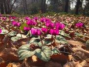 【花・見ごろ】国営武蔵丘陵森林公園の原種シクラメン